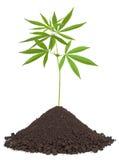 Les cannabis plantent dans la saleté image stock