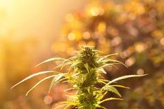 Les cannabis plantent l'élevage dehors, allumé par la lumière chaude de matin Photos stock
