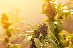 Les cannabis plantent l'élevage dehors, allumé par la lumière chaude de matin Photographie stock libre de droits