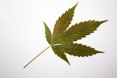Les cannabis pressés de chanvre de marijuana poussent des feuilles sur le fond blanc photo stock