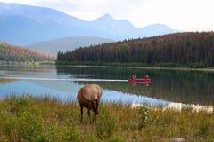 Les canoës apprécient les montagnes rocheuses avec la faune sur le rivage photos stock