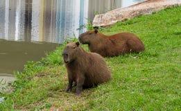 Les Capybaras s'approchent du lac Images libres de droits
