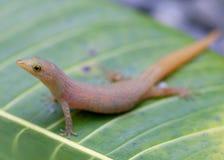Les Caraïbe moindre Gecko, homolepis de Sphaerodactylus photographie stock libre de droits