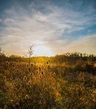 Les cardères rougeoient dans le coucher du soleil de soirée au lac Pebsham près du bexhill dans le Sussex est photographie stock