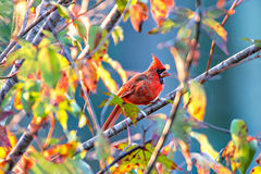 Les cardinalis cardinaux du nord de Cardinalis étaient perché sur une branche photo stock