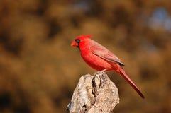 les cardinaux de l'Arizona vont Images libres de droits