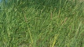 Les Cattails le ressort d'eau dans Newberry jaillit la Californie Image libre de droits