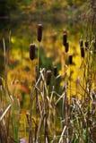 Les Cattails ont desserré par les lames d'or d'automne reflétées dans le petit étang Image stock