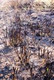Les cendres et l'épave stump l'herbe après le feu Photos stock