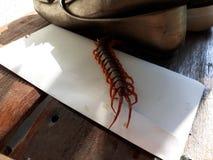 Les centipèdes sont des invertébrés dans la classe de Chilopoda, située dans l'arthropode d'arthropode Les jambes sont trouvées d image stock