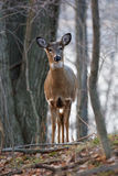 Les cerfs communs éveillés larges Photo stock