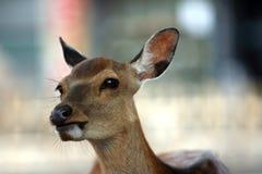 Les cerfs communs Photographie stock