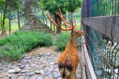 Les cerfs communs Image libre de droits