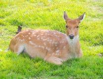 Les cerfs communs photos stock