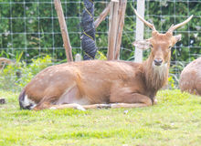 Les cerfs communs Photographie stock libre de droits