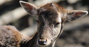 Les cerfs communs adulent dans la forêt sauvage banque de vidéos