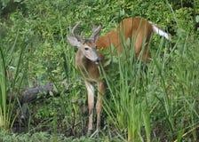 les cerfs communs Blanc-coupés la queue s'opposent au bord d'une rivière Photos stock