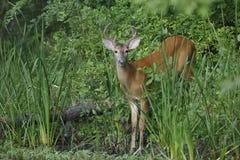 les cerfs communs Blanc-coupés la queue s'opposent au bord d'une rivière Photographie stock