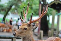 Les cerfs communs détendent au parc de Nara, Japon Foyer sélectif Photo stock