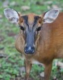 Les cerfs communs d'écorcement femelles Images stock