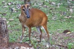 Les cerfs communs d'écorcement femelles Photographie stock libre de droits