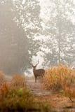 Les cerfs communs d'Eld Photographie stock libre de droits