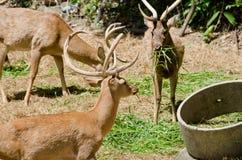 Les cerfs communs d'Eld Images stock