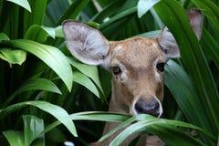 Les cerfs communs d'Eld dans les herbes denses Photographie stock libre de droits