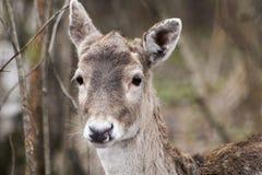 Les cerfs communs dans la forêt ont repéré des cerfs communs et des cerfs communs d'enfants Cerfs communs de tir d'automne photos libres de droits