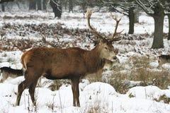 Les cerfs communs dans la neige ont couvert le stationnement de Richmond Photographie stock libre de droits