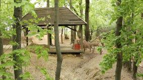Les cerfs communs dans le hangar de zoo, ont jeté la peau sur un neuf, animaux en nature, à cornes clips vidéos