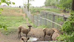 Les cerfs communs dans le hangar de zoo, ont jeté la peau sur un neuf, animaux en nature, à cornes banque de vidéos