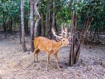 Les cerfs communs de Chital, cerfs communs d'axe, ont repéré des cerfs communs dans le zoo Tha d'Ubon Ratchathani Photos stock