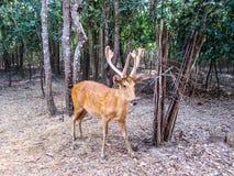 Les cerfs communs de Chital, cerfs communs d'axe, ont repéré des cerfs communs dans le zoo Tha d'Ubon Ratchathani Images stock