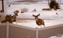 Les cerfs communs de mule femelles sautent la barrière dans la zone urbaine Photo stock