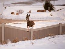 Les cerfs communs de mule femelles sautent la barrière dans la zone urbaine Photos stock
