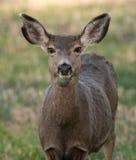 Les cerfs communs de mule femelles, se ferment  Photo stock