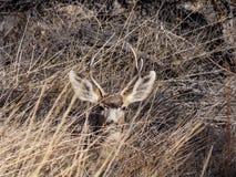 Les cerfs communs de mule jettent un coup d'oeil un huer images stock