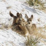 Les cerfs communs de mule mignons se sont blottis Images stock