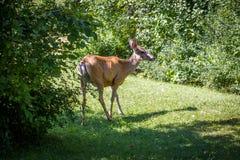 Les cerfs communs de mule opposent la position dans les buissons sous la lumière du soleil Image stock