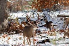 Les cerfs communs de mule s'opposent avec de grands andouillers dans la neige Images libres de droits