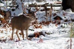 Les cerfs communs de mule s'opposent avec de grands andouillers dans la neige Image libre de droits