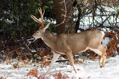 Les cerfs communs de mule s'opposent avec de grands andouillers dans la neige Photo libre de droits