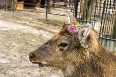 Les cerfs communs de Sika brunissent sans klaxons (andouillers laissés tomber) et yeux tristes (La Images libres de droits