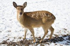 Les cerfs communs de Sika ou les cerfs communs repérés, ou le Japonais Image libre de droits