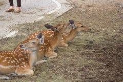 Les cerfs communs de sika peuvent être en activité tout au long de la journée, cependant dans les secteurs photographie stock libre de droits