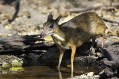 Les cerfs communs de souris venant au petit étang dans sauvage photographie stock