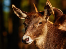 Les cerfs communs de Thorold dans une forêt foncée Photographie stock libre de droits