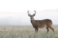 Les cerfs communs de Whitetail s'opposent dans un domaine ouvert Photographie stock libre de droits