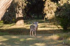 Les cerfs communs de Whitetailed de trophée s'opposent avec la branche dans des andouillers, bois de flottage le Texas image libre de droits